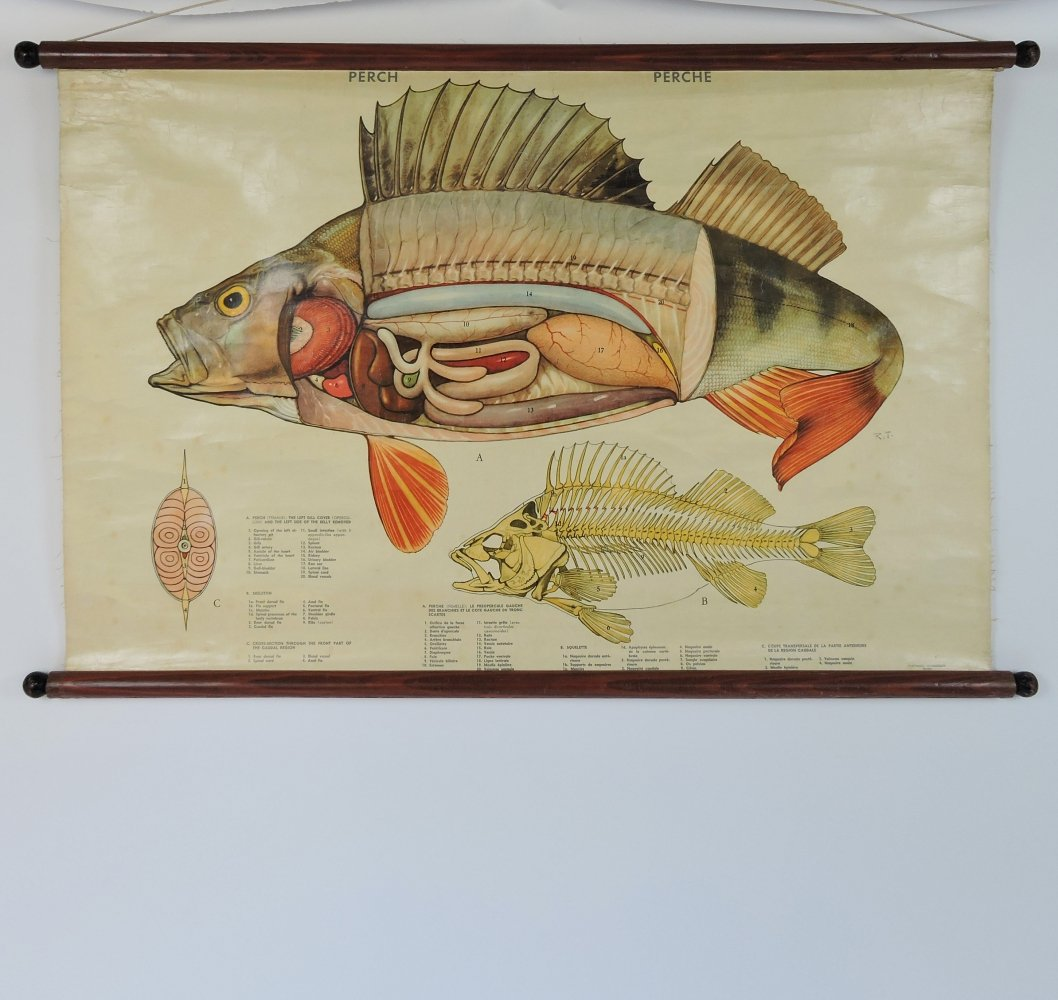 Vintage Perch Anatomy Wall Chart, 1970s