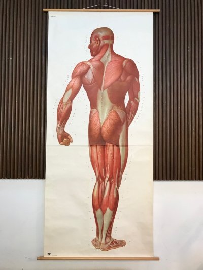 Large Anatomical Wall Chart by Deutsche Hygiene Museum, Dresden 1950s