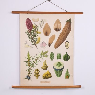 Botanical School Chart on canvas, 1960s